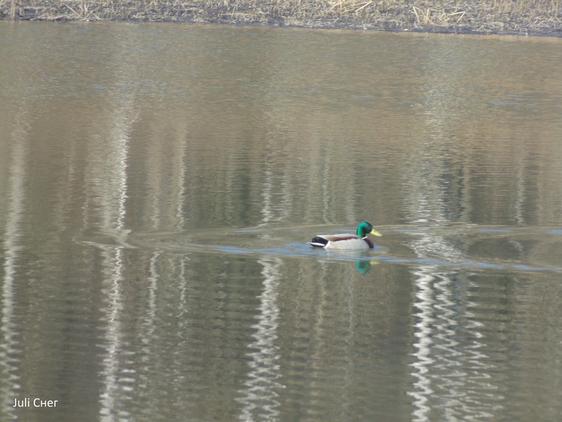 Утка плывёт по лесному озеру